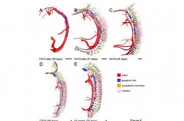 Development of the sympathetic trunks in human embryos